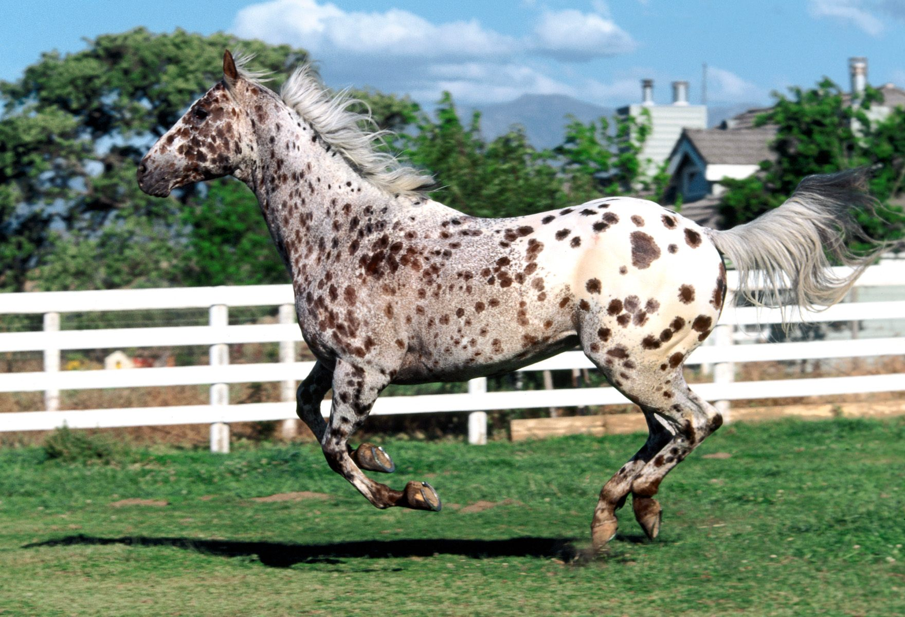 Appaloosa Galloping