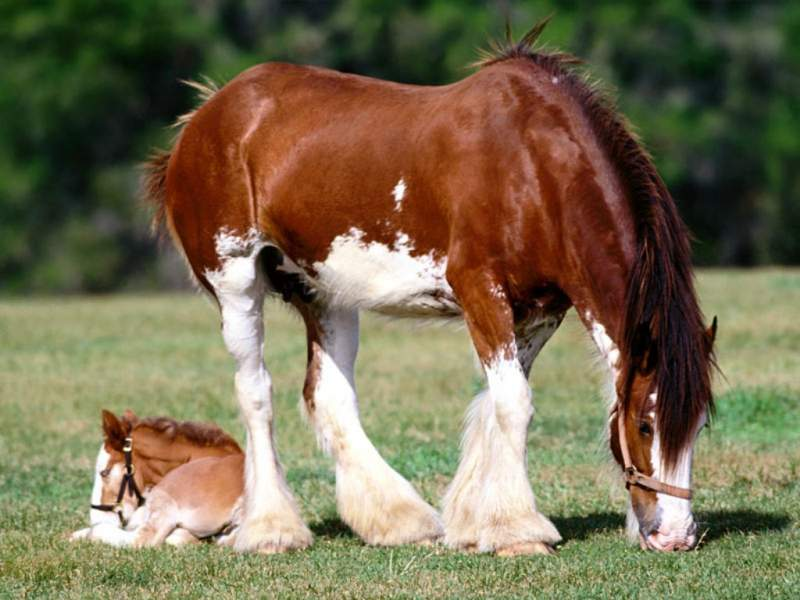 draught horse and foal